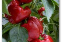 Potager : poivrons