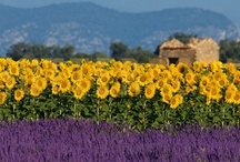 ♥ Sunflowers and Lavender