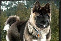 Akitas / American akita, the most beautiful dog. Smart, handsome, powerful.