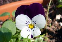 VIOLAS, PANSIES, VIOLETS / Love Their Little Faces / by MaryAnne Rether