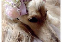Afghan hound / I love afghan hound