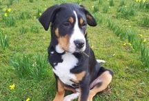 Battlefield Dog / Chester, otherwise known as Battlefield Dog. Greater Swiss Mountain Dog and all-round nutter.
