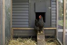 C H O O K S / For when we start our little homesteading life, info on chooks