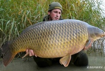 Carps / Catching carps is one of the most popular angling this time. Find some good photos of really huge carps.