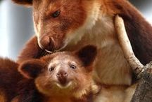 Marsupials / Kangaroos, Koala Bears and other marsupials