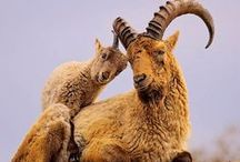 Antelope / Antelopes comprise a miscellaneous group within the family Bovidae, encompassing those Old World species that are neither cattle, sheep, buffalo, bison, nor goats. Antelope include gazelles, duikers, saiga, wildebeest and more.