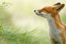 Foxes / Our favourite animal, in all shapes and forms...