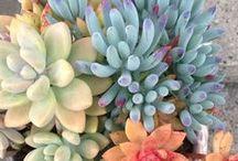 Succulents & Cacti / Succulent Plants