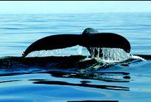 Observation des baleines / Whales Watching / On trouve des baleines dans tous les océans du monde, mais c'est dans le Saint-Laurent que l'on peut observer le plus grand nombre de grandes baleines et une variété de petits cétacés.  / While whales are present in every ocean, it is in the St. Lawrence that the largest number of great whales along with numerous species of smaller ones may be found.  www.tourisme-charlevoix.com