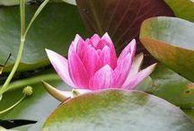 Waterlillies & Lotus Flowers