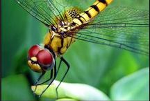 Dragonflies / Dragonflies, magical pictures of these beautiful insects to inspire and admire!