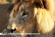 Shayamanzi's Lions / The Great African Kings and Queens of Shayamanzi!