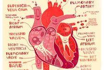anatómia segédlet