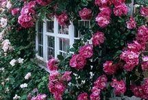 Rosen über Rosen