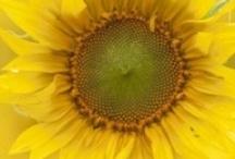 Give Me some Sunshine ~ Yellows