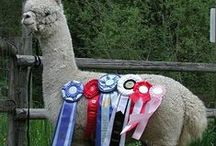 alpaca champions / This week's Pinterest board celebrates the magical overlap of showmanship and science. Proudly presenting, alpaca champions. Enjoy.