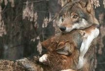 | foxes and wolves |