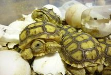 Tortoise Tidbits / All about tortoises / by Frangelica V T