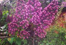 Lila / Purple / Mindenféle lila virágok. :) / Purple flowers