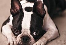 I like Bulldog! Do you? / by Amber Liu