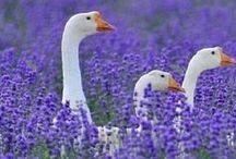 Geese, Ducks, Swans... / .