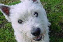Westies and cairns / Westies and cairns