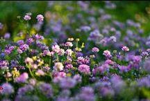 """Flores del campo / """" Durante muchos años sin reparar en gastos he recorrido muchos países, he visto las montañas más altas y los océanos. Lo único que no supe ver fue el brillo del rocío en la hierba a la puerta de mi casa"""". ( Rabindranath Tagore)"""