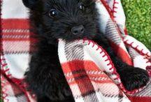 Scottish terriers