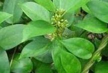 Ayurvedic Herbs / Herbs used in Ayurveda