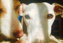 lulu & twistipops ❤️ / My beautiful doglets whippet x jack