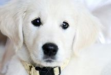 Golden Retrievers...My Love / by Connie