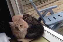 Our (Siberian) cats! Fedor & Stark / We ❤ Siberian Cats