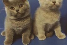 ortensia & olmo / Scottish Fold and British Shorthair: my beloved cats!