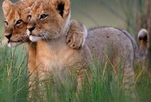 Lion cubs / Most adorable baby lions