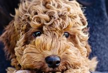 Australian Labradoodle, I want 1!!! ❤️ / Fell in love with this breed... ❤️