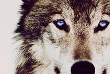 Attention like a wolf - Aufmerksam wie ein Wolf