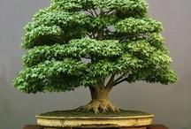 BONSAI TREE LOVE