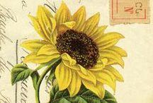 Sunflower, tournesol, solsikke, SONNEBLUME !!!