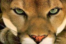 Mountain Lion#