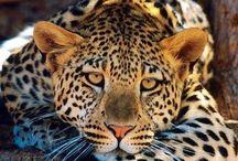 Jaguar#