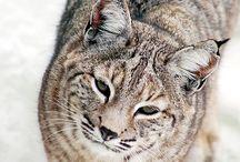 Lynx cat#