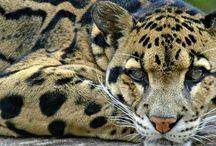 Clouded Leopard#