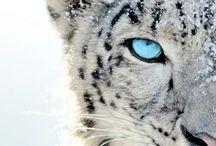 Snow Leopard#