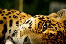Leopard#