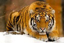Tigers#