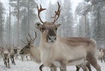 Reindeer in Lapland / Our home region Lapland is the land of reindeer