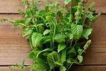 Frischer Tee aus Haus und Garten / Tee aus dem Garten mit frischen Blättern und Blüten