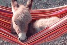 Oki... Donkeys