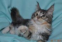 Samantha Burcoon - mainská mývalí kočička