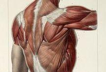Anatomía / Torso